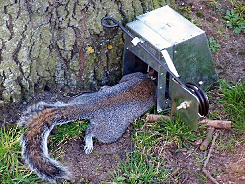 how to set up a fox trap