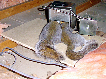 Image Result For Homemade Squirrel Repellent